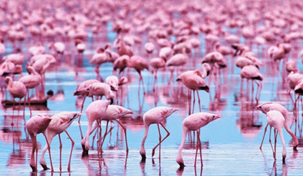 Pink flamingos of Camargue