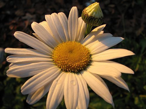 Daisies in Morning Light, por audreyjm529