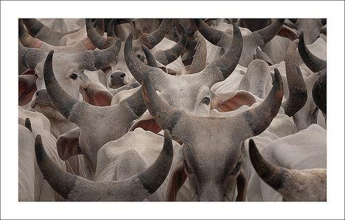 cows of nirona, por nandadevieast
