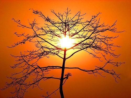 Stripped bombax tree silhouette, por Felix Francis
