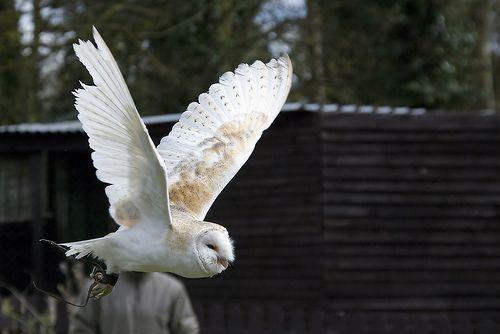 Barn Owl in flight, por Dazzie D