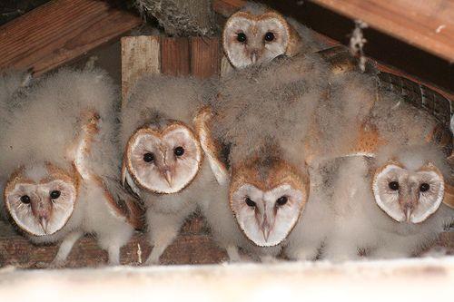 Owlets, por chdwckvnstrsslhm