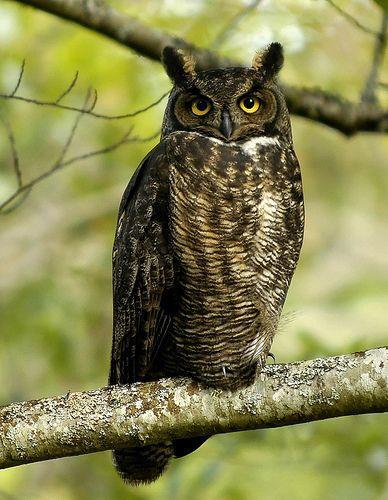 Great Horned Owl, por brendan.lally....away