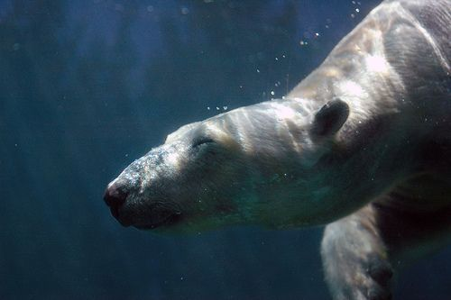 appy Polar Bear, por Jeff Kubina