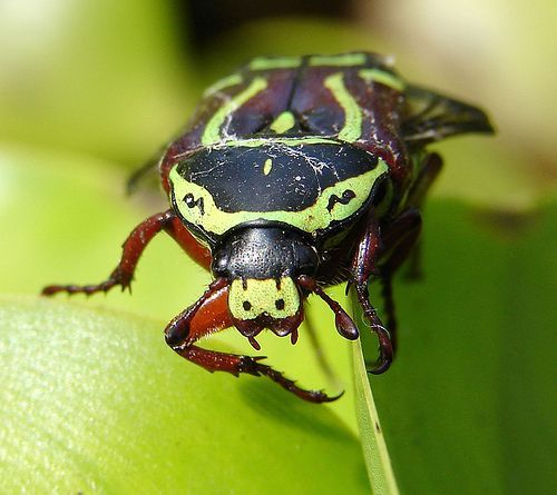 Green and black stag beetle, por Louise Docker