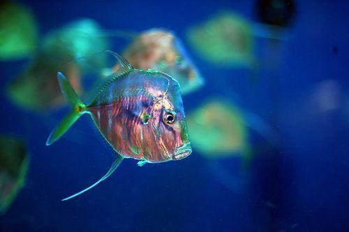 Lookdown Fish, por Jeff Kubina