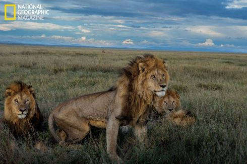 Leones National Geographic