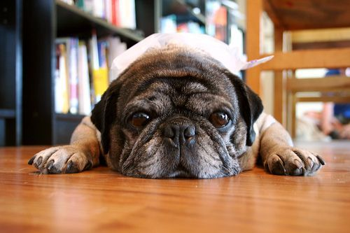 Roscoe the Pug With Ice Bag On His Head- Miserable in the Seattle Heat, por zoomar