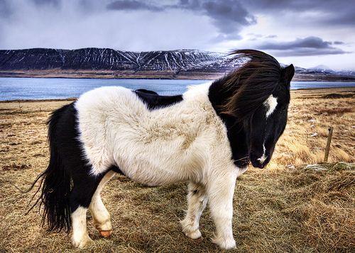 Icelandic Sheepdog, por Trey Ratcliff