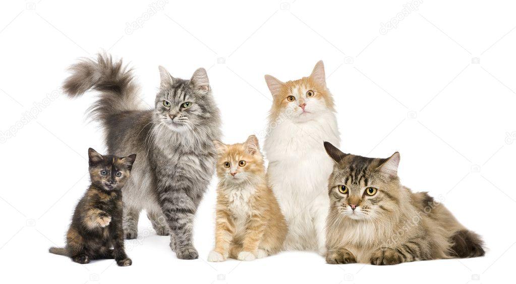 Elegir una raza de gato que se adapte a su familia