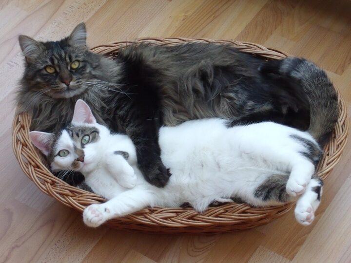 Se sabe que las razas de gatos tienen poca energía