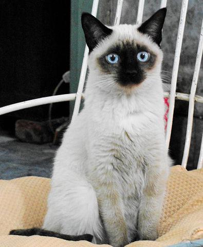 Información sobre gatos siameses: lo bueno, lo malo y lo feo
