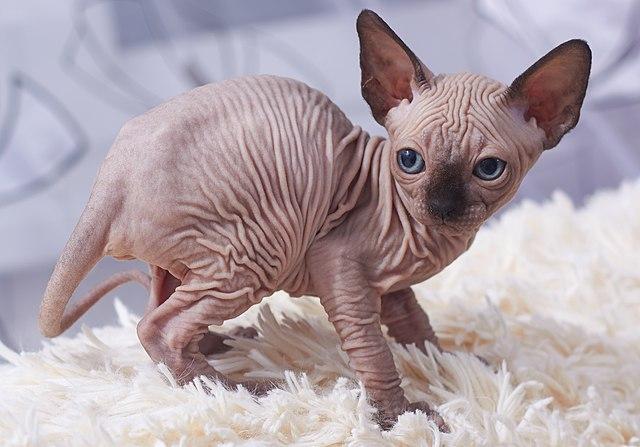 Gato Sphynx: ventajas y desventajas de tener un gato Sphynx