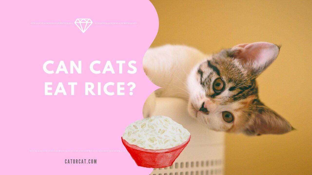 ¿Pueden los gatos comer arroz?  ¿Es seguro o no?