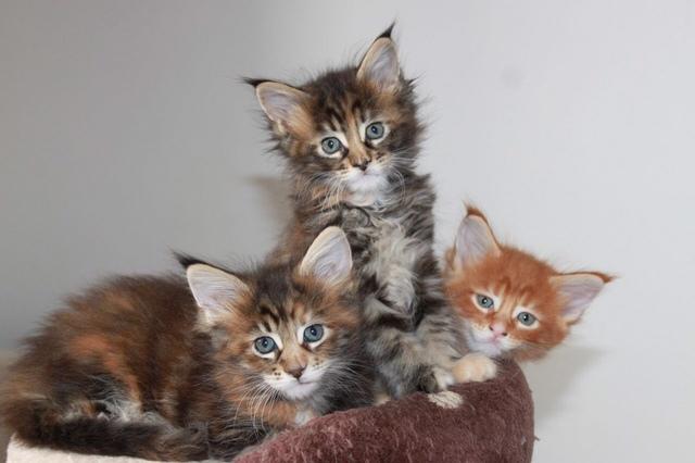 15 cosas que debes saber antes de comprar un gatito Maine Coon