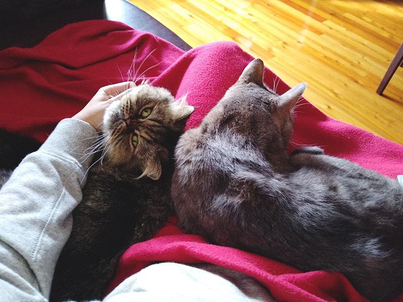 ¿Por qué mi gato duerme sobre mis piernas o entre ellas? 16 Explicaciones