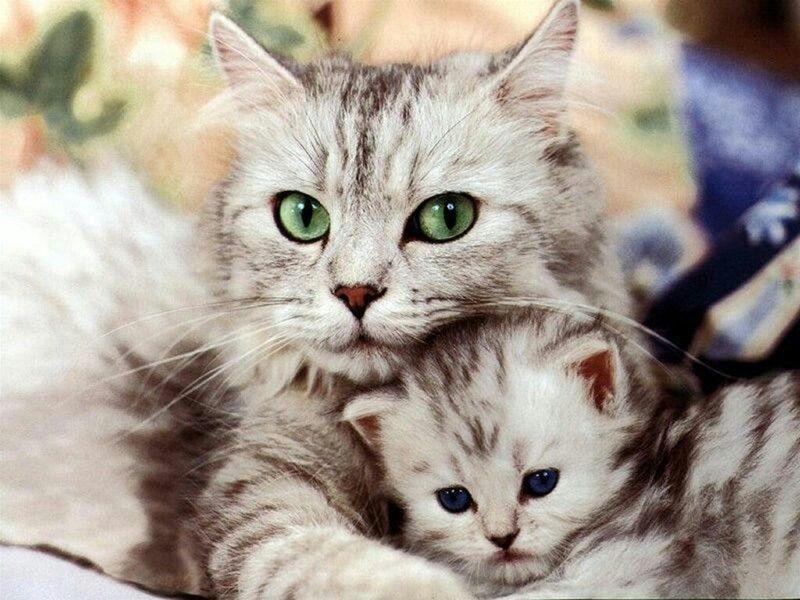 Comportamiento del gato con gatitos: agresión materna y paterna