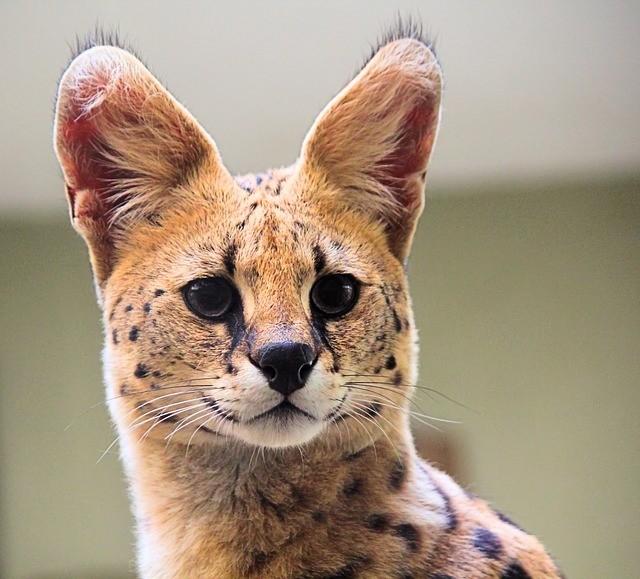 Viviendo con una mascota Serval