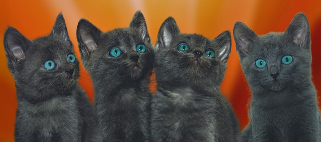 ¿De qué color serán los gatitos que producirá mi gata?