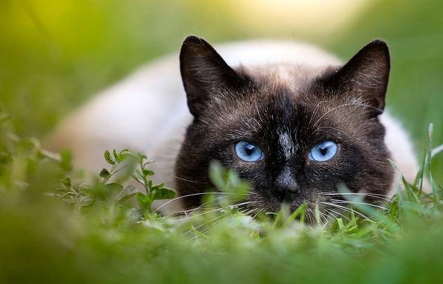 Cómo alimentar y cuidar a tu gato siamés
