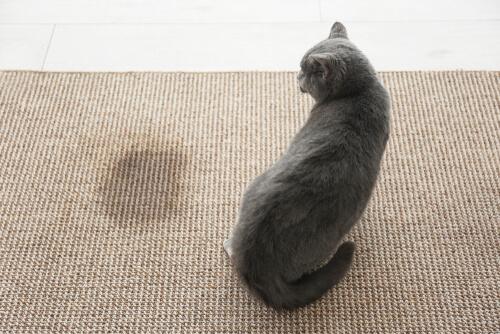 Tengo un segundo gato y ahora mi viejo gato orina por todas partes