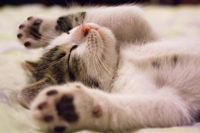 Psicología del gato – ¿Mi gato es feliz?