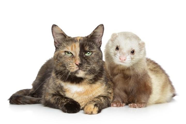 ¿Se llevan bien los gatos y los hurones?