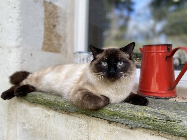 8 sorprendentes razas de gatos Colorpoint