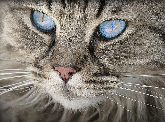 ¿Qué colores pueden ver los gatos?