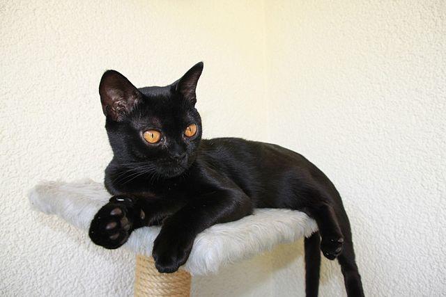 Gatos, personas y la peste negra: los que mantuvieron a los gatos vivos