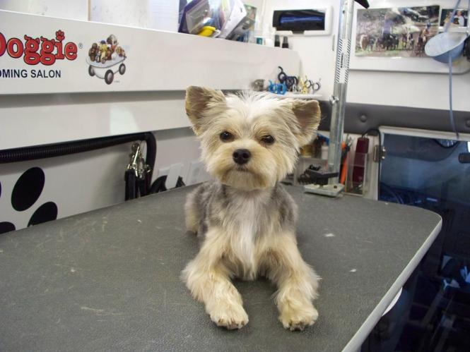 Mommys Little Peanuts Pitiful Puppy Our Morkie Boo Hair Style