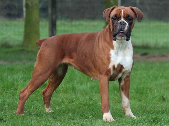 50 nomes que combinam com cães da raça boxer