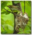 Viréo aux yeux rouges - club ornithologie Trois-rivières
