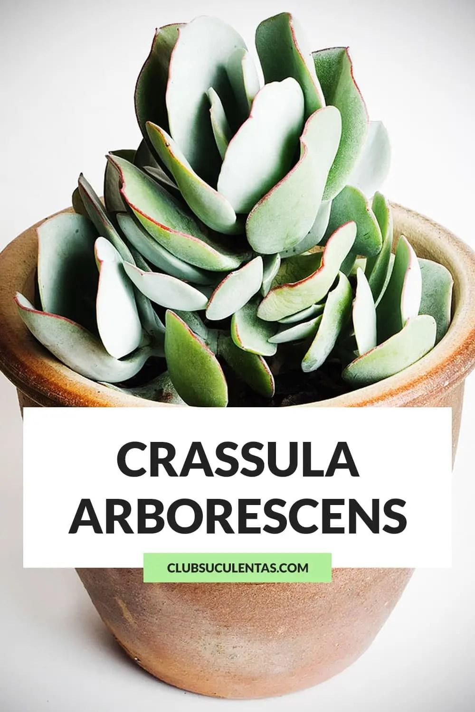 crassula arborescens suculenta