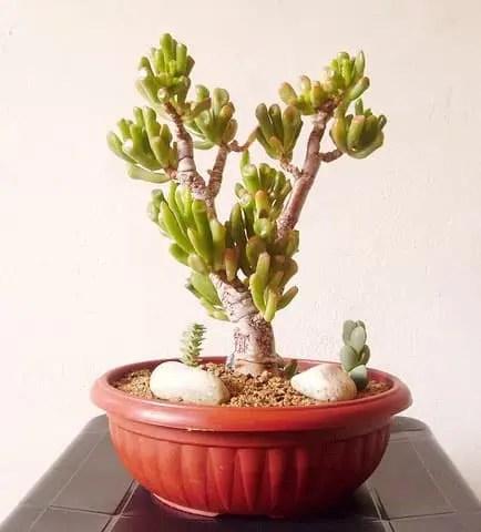 crassula ovata gollum bonsai