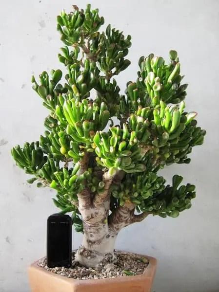 crassula ovata hobbit bonsai