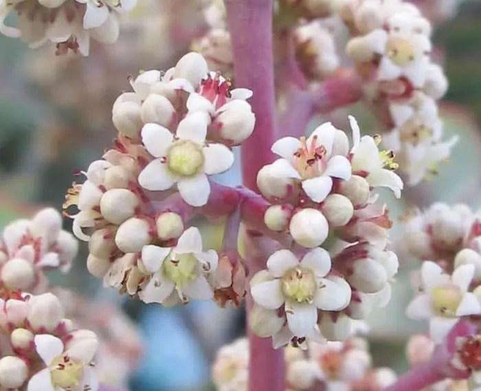 crassula perforata flor