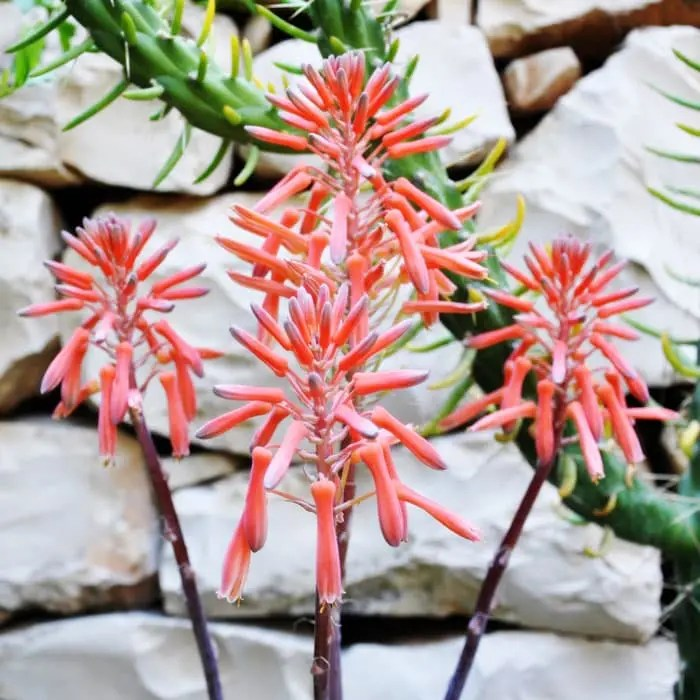aloe aristata flor