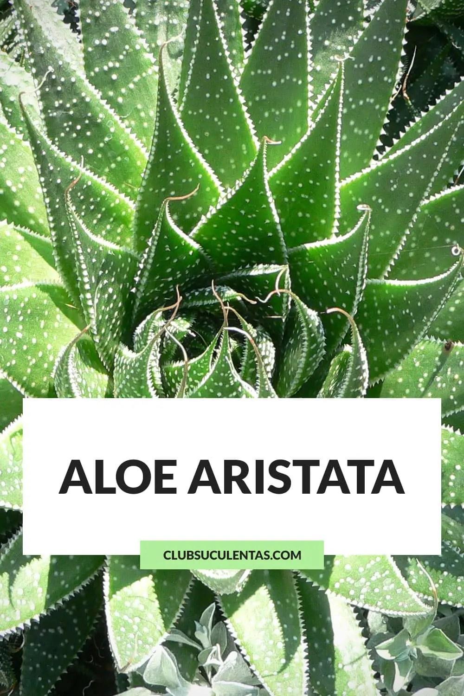 aloe aristata suculentas