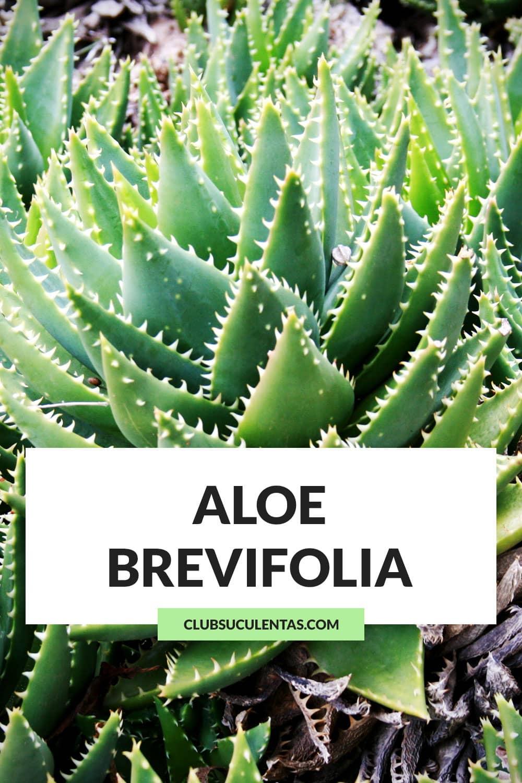 aloe brevifolia suculentas