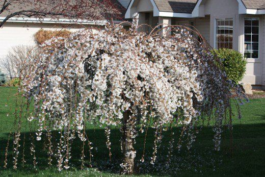 Comfy Flowering Tree Design Ideas For Your Home Yard08