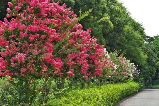 Comfy Flowering Tree Design Ideas For Your Home Yard27