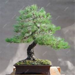 Fascinating Bonsai Tree Design Ideas For Your Room01