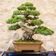 Fascinating Bonsai Tree Design Ideas For Your Room07