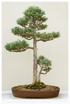 Fascinating Bonsai Tree Design Ideas For Your Room20