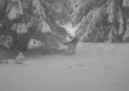 (Video) Cluj: Imagini cu o haită de lupi surprinși în habitatul natural în Munții Apuseni 1