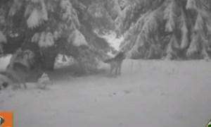 (Video) Cluj: Imagini cu o haită de lupi surprinși în habitatul natural în Munții Apuseni 4