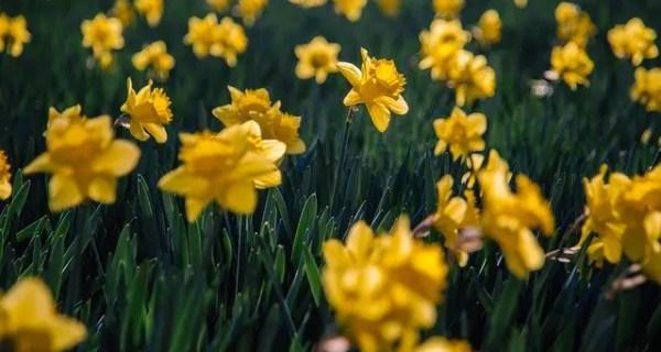 Narcisele – florile lunii Aprilie