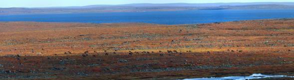 The Bathurst Caribou herd on the move during the fall migration south
