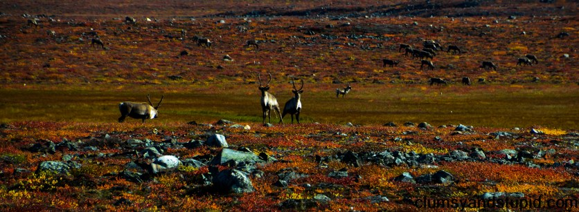 Two caribou on the lookout